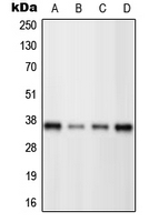 Western blot analysis of BRN3C expression in HeLa (A); Jurkat (B); Raw264.7 (C); H9C2 (D) whole cell lysates.