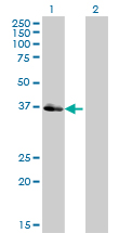 Western Blot analysis of POU4F3 expression in transfected 293T cell line by POU4F3 monoclonal antibody (M01), clone 5B8.Lane 1: POU4F3 transfected lysate(37.1 KDa).Lane 2: Non-transfected lysate.