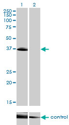 Western blot analysis of POU4F3 over-expressed 293 cell line, cotransfected with POU4F3 Validated Chimera RNAi (Lane 2) or non-transfected control (Lane 1). Blot probed with POU4F3 monoclonal antibody (M01), clone 5B8 . GAPDH ( 36.1 kDa ) used as specificity and loading control.