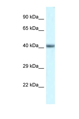 POU4F3 antibody Western blot of Mouse Heart lysate. Antibody concentration 1 ug/ml.  This image was taken for the unconjugated form of this product. Other forms have not been tested.