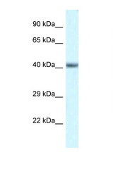 POU4F3 antibody LS-C145531 Western blot of Mouse Heart lysate. Antibody concentration 1 ug/ml.  This image was taken for the unconjugated form of this product. Other forms have not been tested.