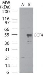 POU5F1 / OCT4 Antibody - Western blot of OCT4 in A) uninduced and B) induced BL21 DE3 bacterial cells using Polyclonal Antibody to OCT4 at3 ug/ml.