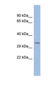 POU5F2 antibody LS-C109602 Western blot of THP-1 cell lysate.  This image was taken for the unconjugated form of this product. Other forms have not been tested.