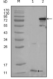Western blot using PPARG mouse monoclonal antibody against truncated PPARG-His recombinant protein (1) and full-length PPARG(aa1-477) transfected CHO-K1 cell lysate (2).