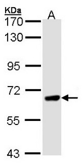 Sample (30 ug of whole cell lysate). A: H1299. 7.5% SDS PAGE. PPEF / PPEF1 antibody diluted at 1:1000