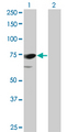 Western Blot analysis of PPEF1 expression in transfected 293T cell line by PPEF1 monoclonal antibody (M01), clone 1F6-1A5.Lane 1: PPEF1 transfected lysate(75.8 KDa).Lane 2: Non-transfected lysate.