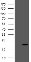 PPIL3 Antibody - HEK293T cells were transfected with the pCMV6-ENTRY control (Left lane) or pCMV6-ENTRY PPIL3 (Right lane) cDNA for 48 hrs and lysed. Equivalent amounts of cell lysates (5 ug per lane) were separated by SDS-PAGE and immunoblotted with anti-PPIL3.