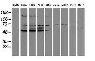 PPM1G Antibody - Western blot of extracts (35 ug) from 9 different cell lines by using anti-PPM1G monoclonal antibody (HepG2: human; HeLa: human; SVT2: mouse; A549: human; COS7: monkey; Jurkat: human; MDCK: canine; PC12: rat; MCF7: human).