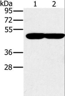 PPOX Antibody - Western blot analysis of K562 and 293T cell, using PPOX Polyclonal Antibody at dilution of 1:200.