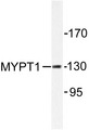 Western blot of MYPT1 (R847) pAb in extracts from NIH/3T3 cells.