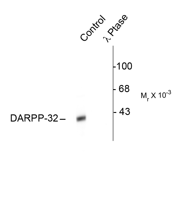 Western blot of rat caudate lysate showing specific immunolabeling of the ~32k DARPP-32 phosphorylated at Thr34 (Control). The phosphospecificity of this labeling is shown in the second lane (lambda-phosphatase: l-Ptase). The blot is identical to the control except that it was incubated in l-Ptase (1200 units for 30 min) before being exposed to the Anti-Thr34 DARPP-32. The immunolabeling is completely eliminated by treatment with l-Ptase.