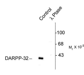 Western blot of rat caudate lysate showing specific immunolabeling of the ~32k DARPP-32 phosphorylated at Thr75 (Control). The phosphospecificity of this labeling is shown in the second lane (lambda-phosphatase: lambda phosphatase). The blot is identical