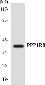 Western blot analysis of the lysates from HUVECcells using PPP1R8 antibody.