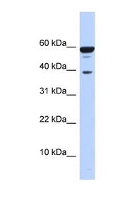 PPP1R8 / Rnase E Antibody - PPP1R8 antibody Western blot of 293T cell lysate. This image was taken for the unconjugated form of this product. Other forms have not been tested.