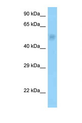 PPP2R3C antibody Western blot of Rat Brain lysate. Antibody concentration 1 ug/ml.  This image was taken for the unconjugated form of this product. Other forms have not been tested.