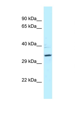 PPP2R4 antibody LS-C145882 Western blot of 435S Cell lysate. Antibody concentration 1 ug/ml.  This image was taken for the unconjugated form of this product. Other forms have not been tested.
