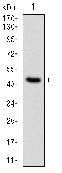 Western blot using PPP2R4 monoclonal antibody against human PPP2R4 (AA: 1-154) recombinant protein. (Expected MW is 41 kDa)