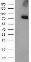 PPWD1 Antibody - HEK293T cells were transfected with the pCMV6-ENTRY control (Left lane) or pCMV6-ENTRY PPWD1 (Right lane) cDNA for 48 hrs and lysed. Equivalent amounts of cell lysates (5 ug per lane) were separated by SDS-PAGE and immunoblotted with anti-PPWD1.