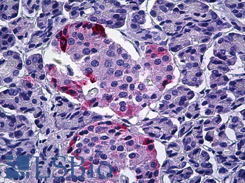 Anti-PPY antibody IHC of human pancreas. Immunohistochemistry of formalin-fixed, paraffin-embedded tissue after heat-induced antigen retrieval. Antibody LS-B5911 concentration 5 ug/ml.