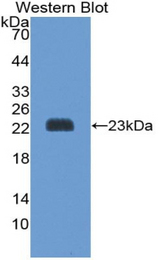 Western blot of recombinant PRDX1 / Peroxiredoxin 1.  This image was taken for the unconjugated form of this product. Other forms have not been tested.