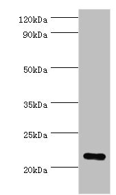 PRDX1 / Peroxiredoxin 1 Antibody - Western blot All lanes: Peroxiredoxin-1 antibody at 2µg/ml + Hela whole cell lysate Secondary Goat polyclonal to rabbit IgG at 1/10000 dilution Predicted band size: 22 kDa Observed band size: 22 kDa