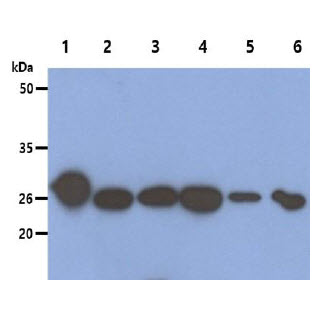 The recombinant human PRDX6 protein (50ng), Cell and Mouse tissue lysates (40ug) were resolved by SDS-PAGE, transferred to PVDF membrane and probed with anti-human Peroxiredoxin 6 antibody (1:1000). Proteins were visualized using a goat anti-mouse secondary antibody conjugated to HRP and an ECL detection system. Lane 1.: Recombinant PRDX6 protein Lane 2.: HeLa cell lysate Lane 3.: 293T cell lysate Lane 4.: HepG2 cell lysate Lane 5.: U87MG cell lysate Lane 6.: Ramos cell lysate