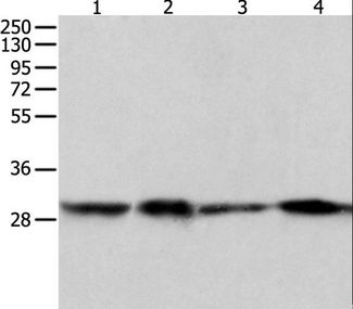 Western blot analysis of HeLa, 293T, 231 and A549 cell, using PRDX6 Polyclonal Antibody at dilution of 1:300.
