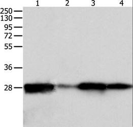 Western blot analysis of HeLa, mouse intestinum tenue tissue, 293T and 231 cell, using PRDX6 Polyclonal Antibody at dilution of 1:300.
