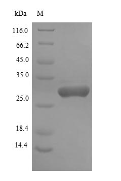 PHOA Protein - (Tris-Glycine gel) Discontinuous SDS-PAGE (reduced) with 5% enrichment gel and 15% separation gel.