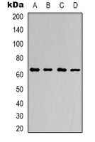 Western blot analysis of AMPK alpha 1 expression in HeLa (A); K562 (B); NIH3T3 (C); H9C2 (D) whole cell lysates.