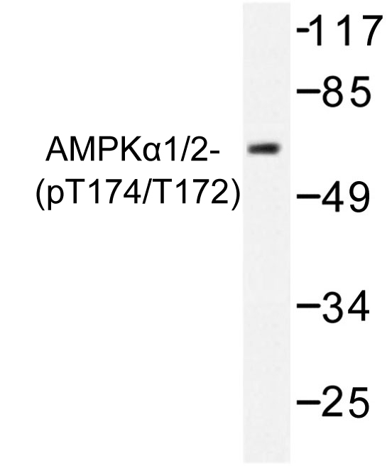 Western blot of p-AMPK alpha 1/2 (T183/172) pAb in extracts from COS7 cells treated with heat shock.