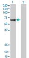 Western Blot analysis of PRKAA2 expression in transfected 293T cell line by PRKAA2 monoclonal antibody (M02), clone 1G8.Lane 1: PRKAA2 transfected lysate(62.3 KDa).Lane 2: Non-transfected lysate.