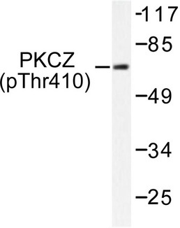 PRKCZ / PKC-Zeta Antibody - Western blot of p-PKC (T410) pAb in extracts from NIH/3T3 cells.