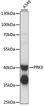 PRKX Antibody - Western blot analysis of extracts of A549 cells, using PRKX antibody at 1:1000 dilution. The secondary antibody used was an HRP Goat Anti-Rabbit IgG (H+L) at 1:10000 dilution. Lysates were loaded 25ug per lane and 3% nonfat dry milk in TBST was used for blocking. An ECL Kit was used for detection and the exposure time was 1s.