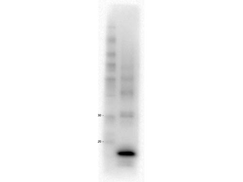 Procalcitonin Antibody - Western Blot of Mouse Anti-Procalcitonin antibody. Lane 1: MW. Lane 2: Procalcitonin Protein. Load: 5 µg per lane. Primary antibody: Procalcitonin antibody at NEAT overnight at 4°C. Secondary antibody: HRP Mouse IgG secondary antibody at 1:40,000 for 30 min at RT. Block: MB-070 overnight at 4°C. Predicted/Observed size: 13.9 kDa.