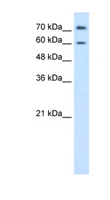PRODH2 antibody LS-C40335 Western blot of HepG2 cell lysate.  This image was taken for the unconjugated form of this product. Other forms have not been tested.