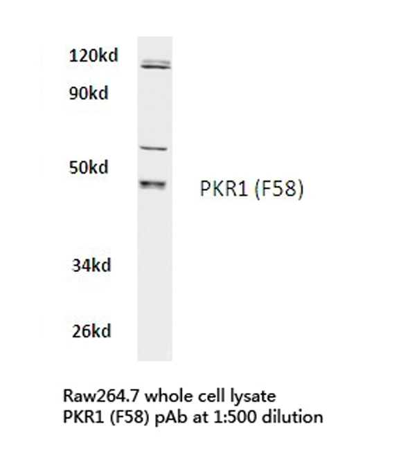 Western blot of PKR1 (F58) pAb in extracts from raw264.7 cells.