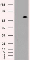 HEK293T cells were transfected with the pCMV6-ENTRY control (Left lane) or pCMV6-ENTRY PROM2 (Right lane) cDNA for 48 hrs and lysed. Equivalent amounts of cell lysates (5 ug per lane) were separated by SDS-PAGE and immunoblotted with anti-PROM2.