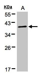 Proteins, phosphorylated (Pan) Antibody - Sample (30 ug of whole cell lysate). A: HeLa S3. 12% SDS PAGE. PRKACA antibody diluted at 1:500