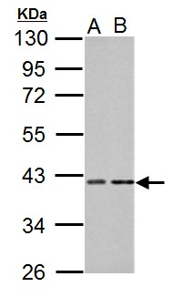 Proteins, phosphorylated (Pan) Antibody - Sample (30 ug of whole cell lysate). A: NIH-3T3, B: C2C12. 10% SDS PAGE. PRKACA antibody diluted at 1:1000.