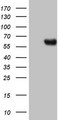 HEK293T cells were transfected with the pCMV6-ENTRY control (Left lane) or pCMV6-ENTRY PROZ (Right lane) cDNA for 48 hrs and lysed. Equivalent amounts of cell lysates (5 ug per lane) were separated by SDS-PAGE and immunoblotted with anti-PROZ.