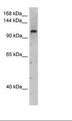 Transfected 293T Cell Lysate.  This image was taken for the unconjugated form of this product. Other forms have not been tested.