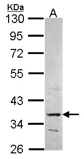 Sample (30 ug of whole cell lysate). A: Hep G2 . 10% SDS PAGE. PRPS2 antibody. PRPS2 antibody diluted at 1:1000.