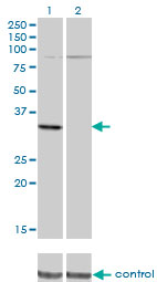 Western blot analysis of PRPS2 over-expressed 293 cell line, cotransfected with PRPS2 Validated Chimera RNAi (Lane 2) or non-transfected control (Lane 1). Blot probed with PRPS2 monoclonal antibody (M02), clone 4C1 . GAPDH ( 36.1 kDa ) used as specificity and loading control.