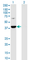 PRPSAP1 Antibody - Western Blot analysis of PRPSAP1 expression in transfected 293T cell line by PRPSAP1 monoclonal antibody (M01), clone 5H10.Lane 1: PRPSAP1 transfected lysate (Predicted MW: 39.4 KDa).Lane 2: Non-transfected lysate.