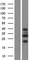 PRR16 Protein - Western validation with an anti-DDK antibody * L: Control HEK293 lysate R: Over-expression lysate