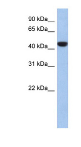 C2orf53 antibody LS-C102692 Western blot of 721_B cell lysate.  This image was taken for the unconjugated form of this product. Other forms have not been tested.