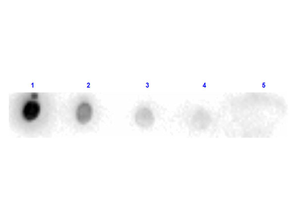 PRSS1 / Trypsin Antibody - Dot Blot results of rabbit Anti-Trypsin Peroxidase Conjugated. Antigen: Trypsin. Blot loaded at 3 fold dilution: 1. 100ng, 2. 33.3ng, 3. 11.1ng, 4. 3.70ng, 5. 1.23ng. Blocking: MB-070 Buffer for 30 minutes at RT. Primary Antibody: Rabbit Anti-Trypsin HRP 10µg/mL for 1hr at RT. Secondary Antibody: none. Imaging System ChemiDoc, Filter used: Chemi.