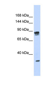 PSD3 Antibody - PSD3 antibody Western blot of 293T cell lysate. This image was taken for the unconjugated form of this product. Other forms have not been tested.