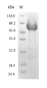 plcH Protein - (Tris-Glycine gel) Discontinuous SDS-PAGE (reduced) with 5% enrichment gel and 15% separation gel.